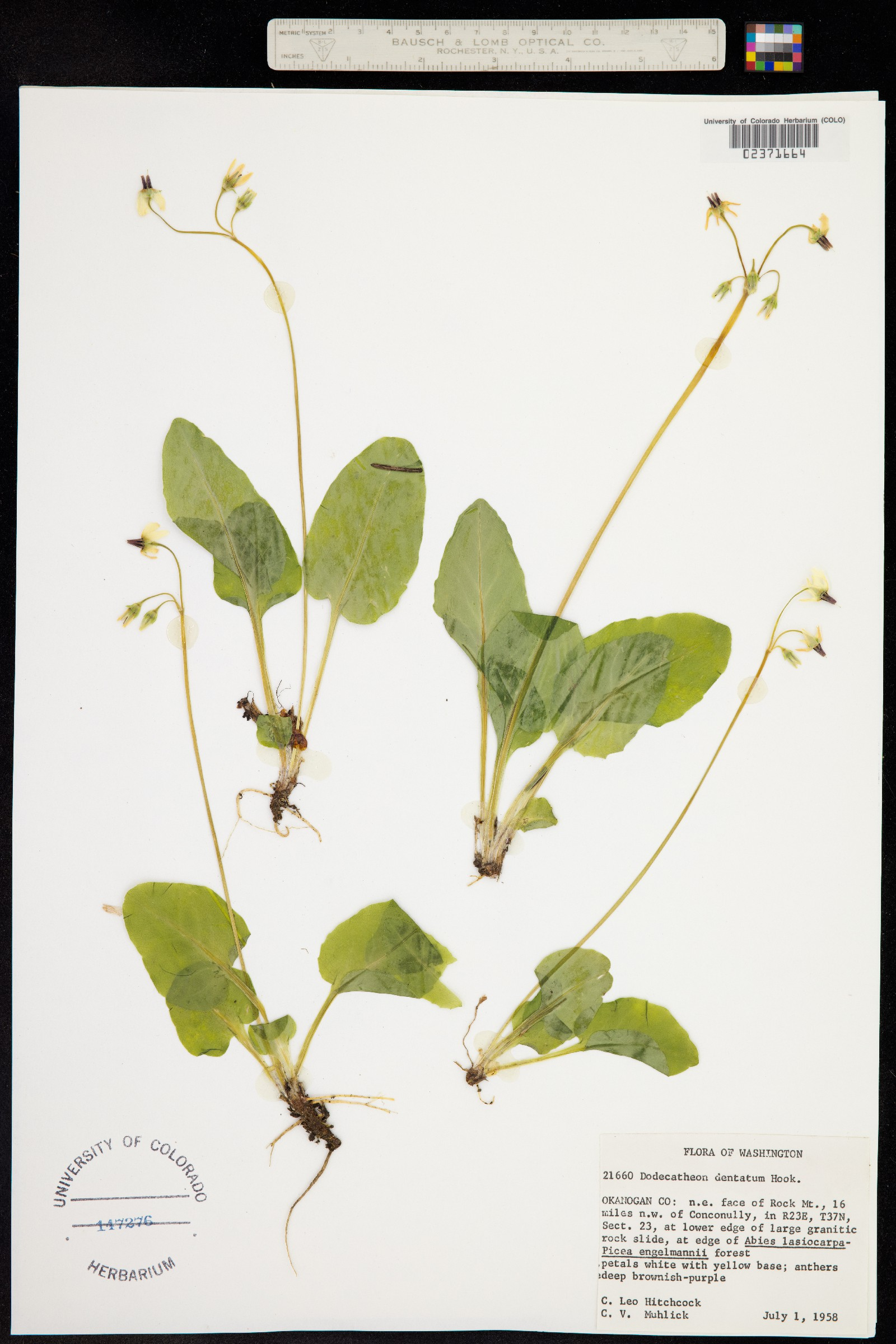 Primula latiloba image
