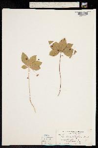 Trientalis latifolia image