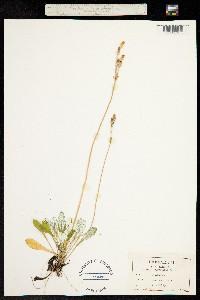 Primula laurentiana image