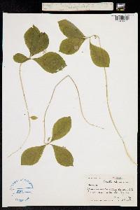 Image of Trientalis latifolia