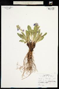 Primula nevadensis image