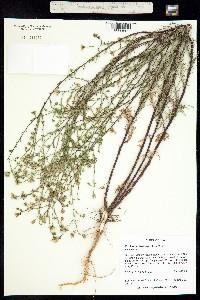 Machaeranthera parviflora image