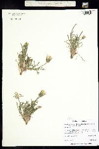 Psilochenia occidentalis image