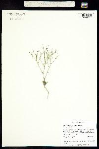 Aliciella triodon image