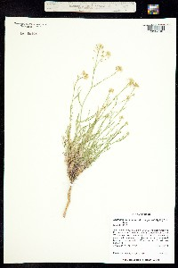 Lepidium montanum image