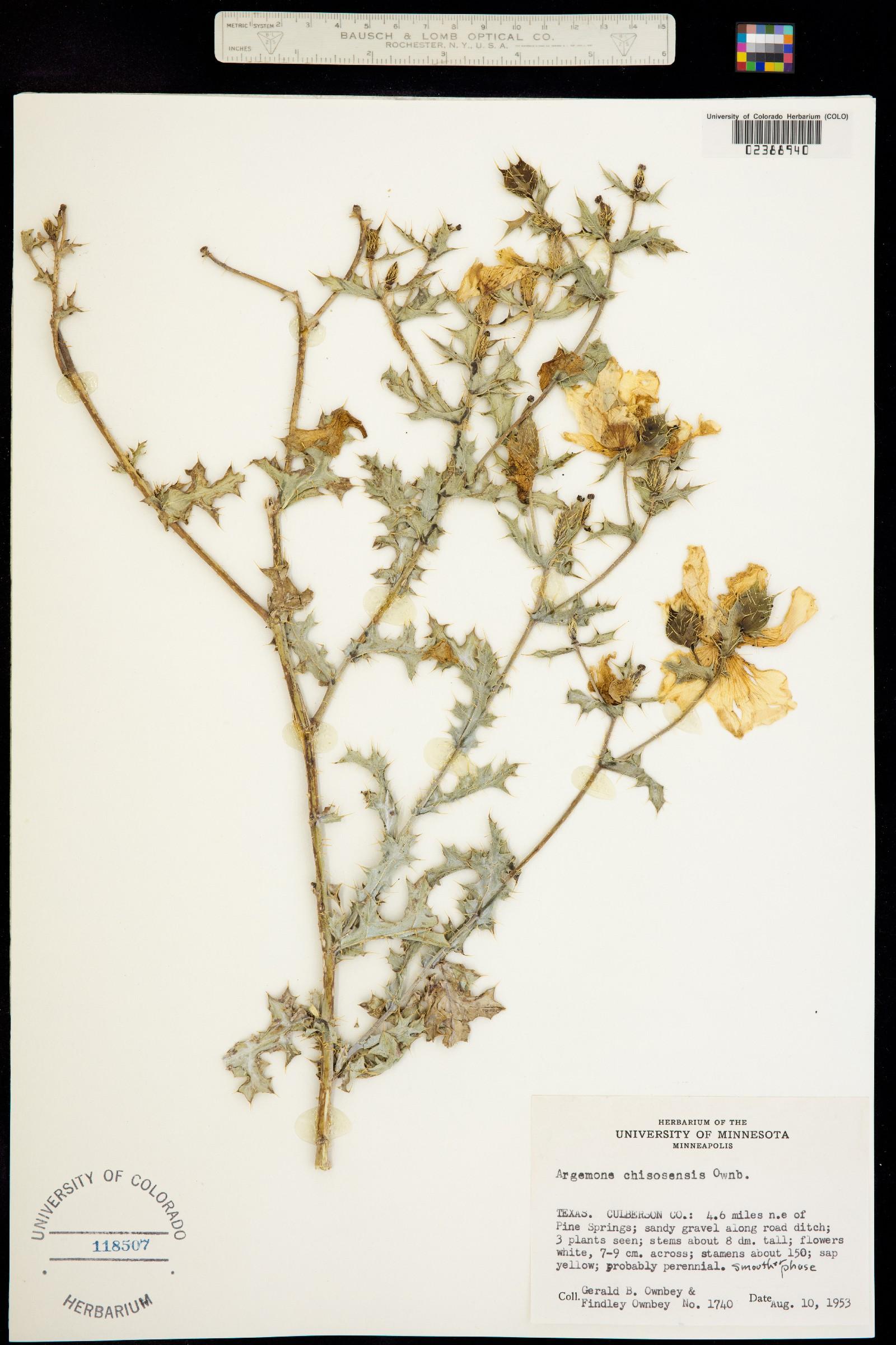 Argemone chisosensis image