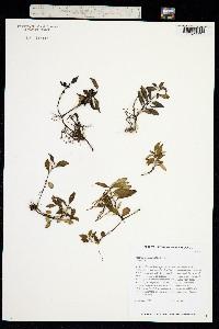 Peperomia alternifolia image