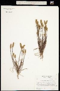 Plantago erecta image