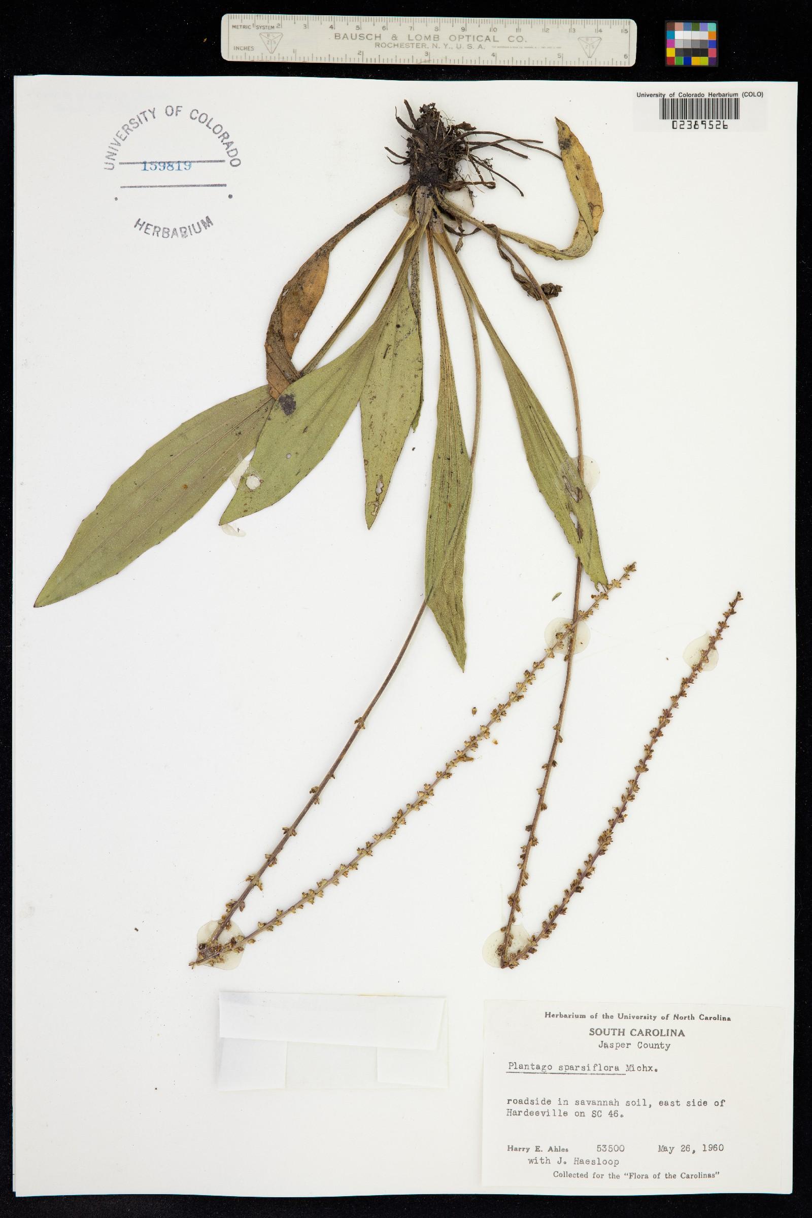 Plantago sparsiflora image
