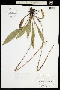 Image of Plantago sparsiflora