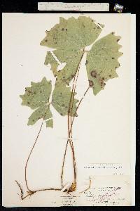 Achlys californica image