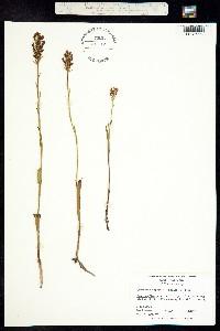 Image of Platanthera cristata