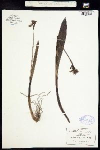 Image of Govenia utriculata