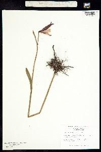 Image of Cleistesiopsis divaricata