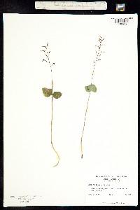 Image of Listera smallii