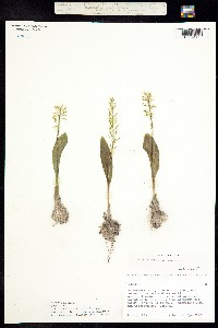 Image of Malaxis abieticola