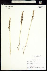 Image of Spiranthes casei