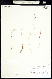 Image of Spiranthes dendroneura