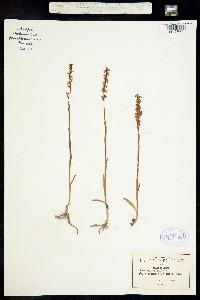 Image of Spiranthes graminea