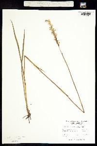 Image of Spiranthes laciniata