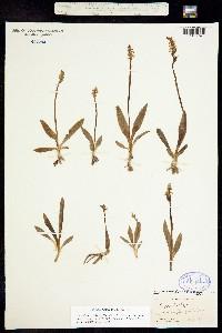 Image of Spiranthes lucida
