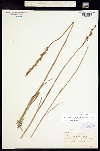 Image of Spiranthes praecox
