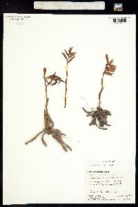 Image of Spiranthes lanceolata