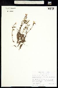 Image of Triphora trianthophoros
