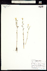 Triphora trianthophoros image