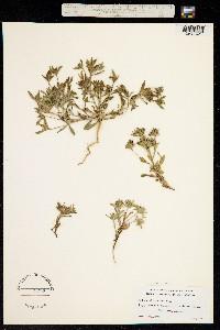 Image of Collomia diversifolia
