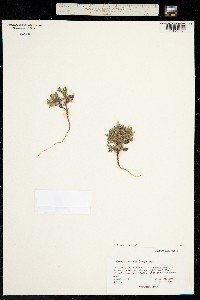 Image of Collomia larsenii