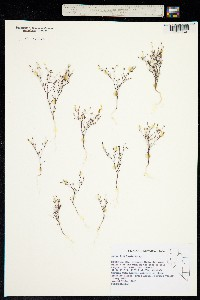 Image of Linanthus filiformis