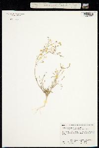 Image of Gilia aliquanta