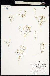Image of Linanthus inyoensis