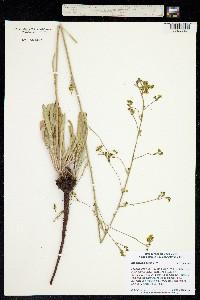 Pterogonum alatum image