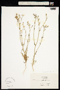 Gilia tenuiflora image