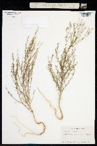 Image of Ipomopsis minutiflora