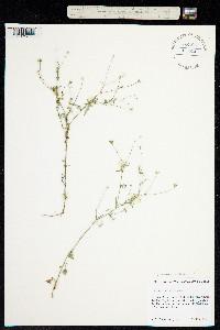 Image of Giliastrum incisum