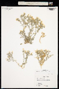 Image of Ipomopsis havardii