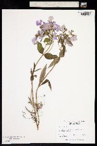 Image of Phlox latifolia