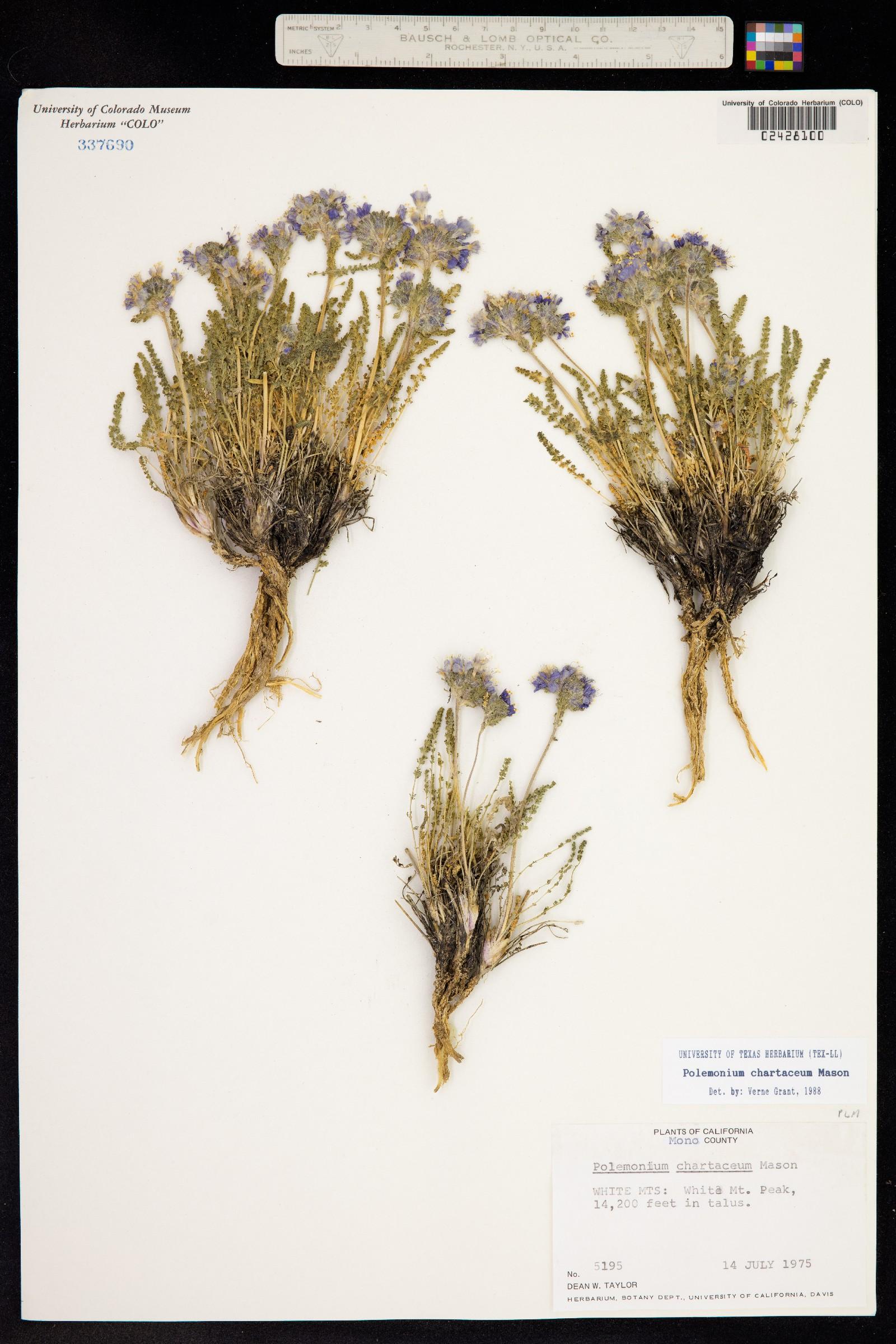 Polemonium chartaceum image