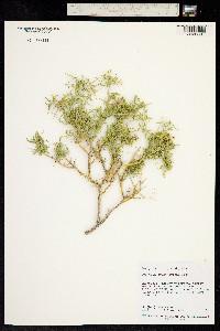 Image of Polygala acanthoclada