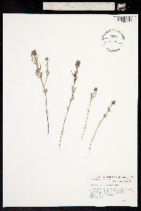 Polygala ramosior image