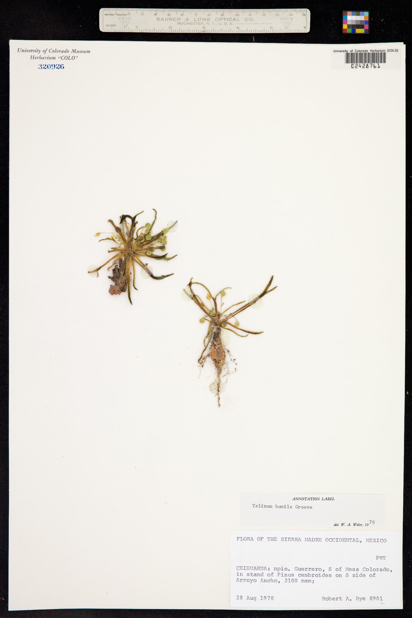 Phemeranthus humilis image