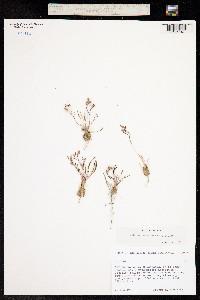 Talinum parvulum image