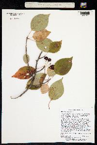 Image of Malus baccata