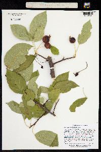 Image of Malus prunifolia