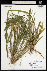 Image of Liriope graminifolia