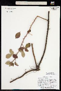 Image of Rubus cuneifolius