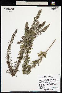 Image of Lespedeza cuneata